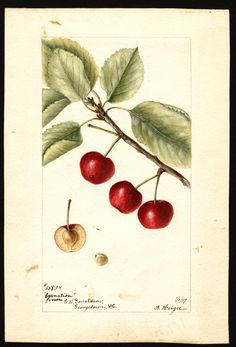 Artist: Heiges, Bertha Scientific name: Prunus avium Common name: cherries Variety: Carnation Geographic origin: Washington, D.C., United States Physical description: 1 art original : col. ; 17 x 25 cm. NAL note: Location note: Georgetown (neighborhood), Washington, D.C. Specimen: 13834 Year: 1897 Date created: 1897