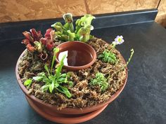 Bog garden for carnivorous plants diy