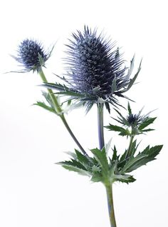 Thistle in my wedding bouquet Thistle Bouquet, Thistle Flower, Thistle Plant, Blue Flowers, Wild Flowers, Thistle Tattoo, Sea Holly, Scottish Thistle, Deco Floral