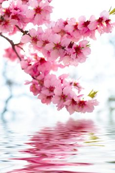cherry blossoms.....so beautiful