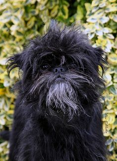 Affenpinscher ~ Marius by Orlock Affenpinschers, via Flickr #dog #animal #affenpinscher