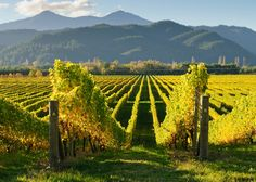 Vineyard Marlborough New Zealand Royal Caribbean New Zealand Wine, New Zealand South Island, Royal Caribbean, Marlborough New Zealand, Marlborough Wine, Vides, Cruise Destinations, Adventure Tours, Adventure Travel