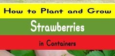 Growing Strawberries in Containers Potted Strawberry Plants, Strawberry Planters, Strawberry Garden, Growing Strawberries In Containers, Growing Tomatoes In Containers, Full Sun Container Plants, Container Flowers, Planting Vegetables, Growing Vegetables