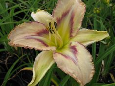 Beautiful colours on Daylily Destined to See Daylily Garden, Day Lilies, Orchids, Scrap, Colours, Book, Flowers, Plants, Travel