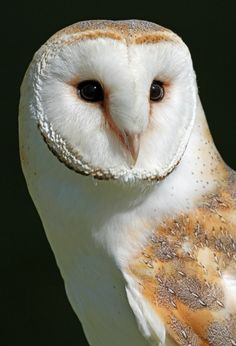 Barn Owl - Bird of Prey Beautiful Owl, Animals Beautiful, Cute Animals, Owl Bird, Pet Birds, Owl Photos, Barn Owl Pictures, Tier Fotos, Colorful Birds