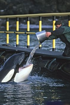 Captured killer whale doomed by misguided rescuers, author writes Orcas, Keiko Orca, Free Willy Movie, Wale, Ocean Creatures, Italian Greyhound, Killer Whales, Sea World, Marine Life