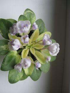 Н-Аватар(спорт)(мини)Взрослая розетка цветет(фото мое)