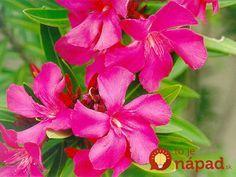 Jediná vetvička zaplní celý kvetináč: Drahý oleander môžete mať celkom zadarmo, toto je najjednoduchší spôsob, ako ho rozmnožiť!