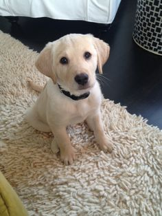 Sammie Boy 8 Weeks Yellow Lab PuppiesLabrador