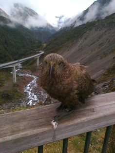 Our native Kea