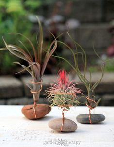 Three air plants affixed to river stones with wire