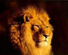 Lion is the king of jungle. We have always been listening this statement about lion since our childhood. As a child everyone of us had the king at the top of Spirit Animal Quiz, Tribe Of Judah, Lion Pictures, Leo Lion, Lion Of Judah, Leopards, Before Us, Belle Photo, Predator