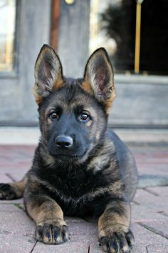 Black sable german shepherd puppy