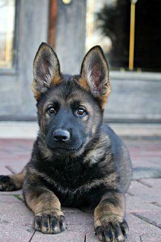 Black sable german shepherd puppy