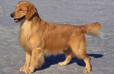 This is a Golden Retriever. It was always said that a Golden Retriever is a man's best friend. But what's a girl's best friend?