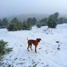 Our camping trip had 40% chance of rain till 10 AM.  I don't think Flip minded the weather man being wrong!  #donteattheyellowsnow #camping #weatherman #RhodesianRidgeback
