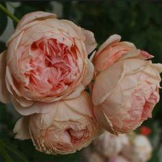 Rosier David Austin William Morris® - Auswill