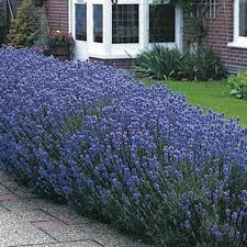 Lavandula angustifolia: this perennial flowering plant is commonly known as Lavendar. It grows 1.5 feet in height and spreads a similar distance. Its foliage consists of aromatic, lanced-shaped leaves that prop up clusters of lavender flowers that bloom during the summer. It works as a corner shrub in herb gardens or as informal edging along walkways.