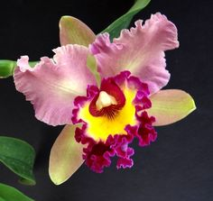 Kumihimo color inspiration - fab colors, combinations and palettes: OA Orchid Cattleya Unnamed Lost Tag Well Established Lovely Plants Most Beautiful Flowers, Rare Flowers, Exotic Flowers, Tropical Flowers, Pretty Flowers, Flowers Uk, Orchid Flowers, Orquideas Cymbidium, Plante Carnivore