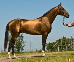 muito altos os cavalos Akhal-Teke  podem ter mais de 1,5 m de altura.