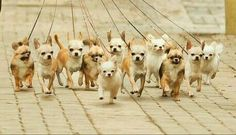 Forget the running of the bulls... Here we have the running of the Chihuahua's
