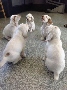 Clumber Spaniel dog art portraits, photographs, information and just plain fun… Clumber Spaniel Puppy, Cocker Spaniel Puppies, Spaniel Dog, Spaniels, Spaniel Breeds, Dog Breeds, Pet Dogs, Dog Cat, Pets