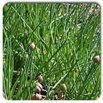 Organic Nelly Chives