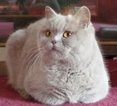 Lilac British Shorthair cat by NiqueGata