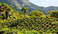 hacienda de cafe en puerto rico jayuya | Boriken 365 > Blog > Flora > Cafetales en Hacienda San Pedro, Jayuya