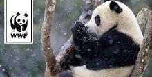 Großer Panda © naturepl.com, Eric Baccega / WWF