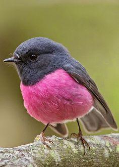 The pink robin in Australia. Cute little guy.