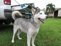 Check out Marla's profile on AllPaws.com and help her get adopted! Marla is an adorable Dog that needs a new home. https://www.allpaws.com/adopt-a-dog/siberian-husky/1704101?social_ref=pinterest