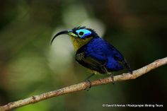 Common Sunbird-Asity by David Erterius. Taken on a Rockjumper Birding Tour in Madagascar. Bird Pictures, Horse Pictures, Flightless Bird, Rare Birds, Backyard Birds, Colorful Birds, Bird Species, Bird Watching, Bird Feathers