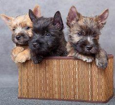 Cairn Terrier Hvalpe