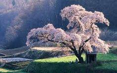 """Vaizdo rezultatas pagal užklausą """"rose cherry flowers"""""""