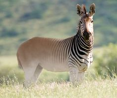 "Quagga - I strongly suspect that this is Photoshopped since the quagga is an extinct animal.  There is, however, a weird project that is trying to revive the species based on selective breeding.  I have no idea what the purpose is other than to say ""we can"".  There have been successful pattern variations but no true quagga to date."