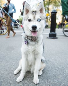"""thedogist:  Mackenzie, Alaskan Klee Kai (1 y/o), Central Park, New York, NY • """"She slaps dogs in the face with her butt if she likes them. She's a tease. She also hasn't had a bath since 5/14/15, so her 'bathiversary' is coming up."""" @mac_attakk"""