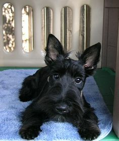 Sophie the Scottie Puppy Scottish Terrier Puppy, Terrier Dogs, Bull Terriers, Cute Puppies, Cute Dogs, Dogs And Puppies, Doggies, Beautiful Dogs, I Love Dogs