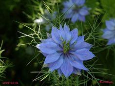 La nigelle de Damas (Nigella damascena L. 1753) est une plante annuelle