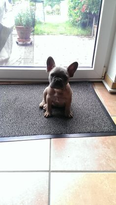 'Well....open the Door!'  French Bulldog Puppy.