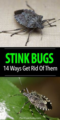 Got a stink bug problem? Before you call the exterminator, try out these 14 simple tips to safely eliminate stink bugs in your home or garden.