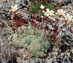Saxifraga valdensis --- rote stiele