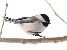 May I present to you the Black Capped Chickadee! This bird has a call the reminds me of a squeeky swing-set. Check this site out and you can hear it for yourself!