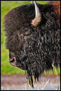 'BISON PROFILE' by Cai Priestly