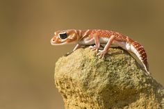 Photograph Knob-tailed Gecko by Milan Zygmunt on 500px