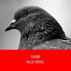 Taube Alle Vögel Bird, Animals, Pigeon, Animales, Animaux, Birds, Animal Memes, Animal, Animais