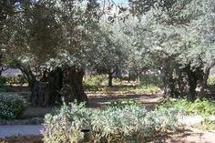 I want to go to Gethsemane! True story: a man went to Israel on the Holy Land tour and hurt his leg, somehow. He was hobbling around the whole trip and when they got to Gethsemane, part of the group gathered around him and prayed for his leg and it was healed that day!