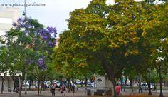 Tipuana tipu y Jacaranda mimosifolia, florecidos en verano, árboles nativos de Sudamérica: Argentina, Brasil