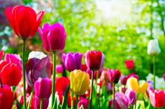 I love bright and colorful tulips!  This moment of delight was brought to you by GEICO. Click on the image to get a free quote. #GEICOdelight #sponsored