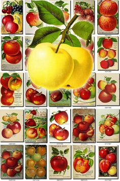 APPLE-14 Collection of 258 vintage images pyrus malus pictures
